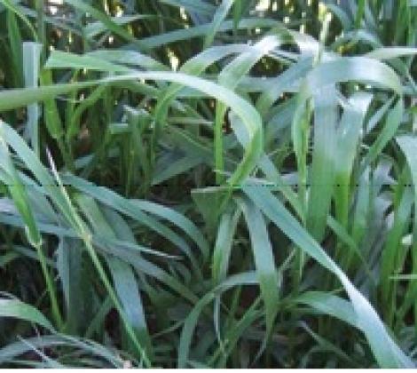 RAY GRASS WESTERWOLD ATTAIN (22,7 Kgr.) - Mínimo 8 Sacos.