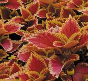 COLEUS SUNFIGHTER TRUSTY RUSTY (84 Plantas).