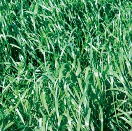 RAY GRASS HÍBRIDO RUBRIDO (20 Kgr.).