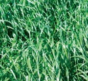 RAY GRASS HÍBRIDO RUBRIDO (25 Kgr.) - Mínimo 8...