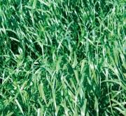 RAY GRASS HÍBRIDO RUBRIDO (1 Kgr.).