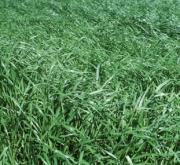 RAY GRASS ITALIANO LOCOBELLO (20 Kgr.) - Mínimo 8...