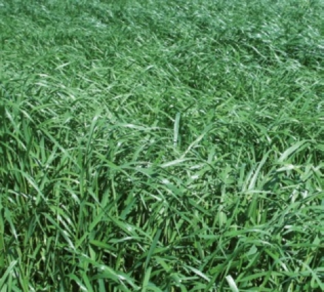 RAY GRASS ITALIANO LOCOBELLO (20 Kgr.) - Mínimo 8 Sacos.