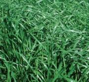 RAY GRASS ITALIANO VERTIBELLO (20 Kgr.) - Mínimo 8...