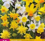 NARCISOS BOTANICOS MIX XXL (20)