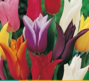 TULIPAN LILY FLOWERING MIX