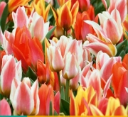 TULIPAN FUN COLOURS