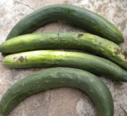 PEPINO BURPLESS TASTY GREEN F1 (500 gr.).