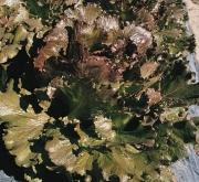 LECHUGA MAGENTA Pildorada (5000 Semillas).