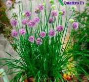 ALLIUM QUATTRO F1 (1000 Semillas).
