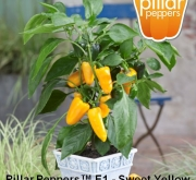 PIMIENTO SWEET YELLOW F1 (1000 Semillas)