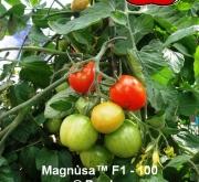 TOMATE MAGNÚSA 100 F1 (1000 Semillas)