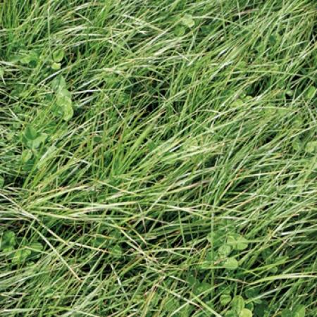 RAY GRASS INGLÉS MAJA (25 Kgr.) - Mínimo 5 Sacos.