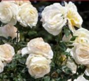 ROSAL CAMILLE CLAUDEL ® - Meiroguste (Trepador)