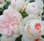 ROSAL SABRINA ® - Meiptprius (Trepador)