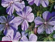 Geraniums, Tanacetums Triteleias y Sidalceas