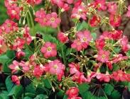 Oxalis, Ligularias, Mirabilis y Eryngiums