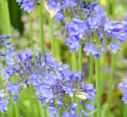 AGAPANTHUS BLUE GIANT (25 Unid.).
