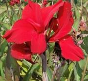 CANNA RED DAZZLER (25 Unid.).