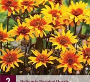 HELIOPSIS BURNING HEARTS