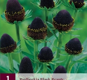 RUDBECKIA BLACK BEAUTY