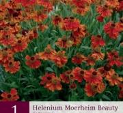 HELENIUM MOERHEIM BEAUTY