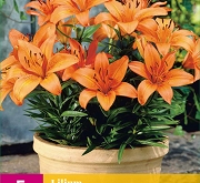 LILIUM ORANGE PIXIE XXL