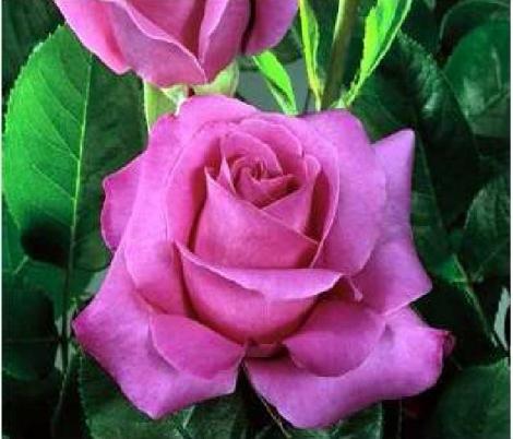 ROSAL CAPRICE DE MEILLAND ® - Meisionver