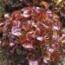 LECHUGA GRENADINE Pildora Sphera (5000 Semillas)