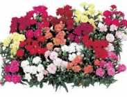 Dianthus Dobles (Claveles)