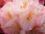 Rododendros o Azaleas