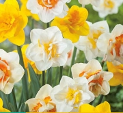 NARCISOS DOBLES MIX