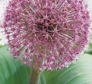 ALLIUM RED GIANT