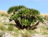 Palmáceas y otras