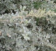 OSAGRA, SALADO BLANCO (50 gr.).