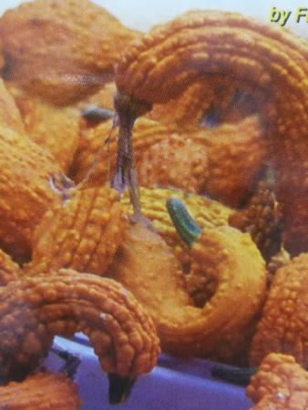 CALABAZA CROOKNECK (10 gr.).