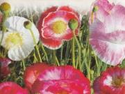 AMAPOLA RHODEAS SHIRLEY DOBLE MIX (50 gr.).
