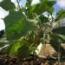 BERENJENA CLARA F-1 (45 semillas)