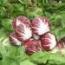 ACHICORIA RAFFAELLO Pildorada ECOLÓGICA (5000 semillas).