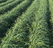 RAY GRASS ITALIANO AÇORES (20 Kgr.) - Mínimo 8...