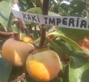 KAKI IMPERIAL