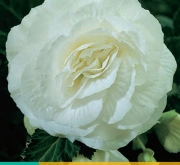 BEGONIA GRANDIFLORA WHITE