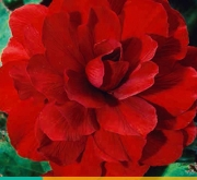 BEGONIA GRANDIFLORA RED
