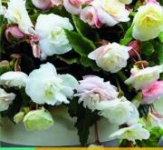 BEGONIA CASCADE ODOROSA WHITE BLUSH