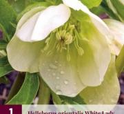 HELLEBORUS ORIENTALIS WHITE LADY