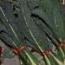 Col Kale Negra de Toscana