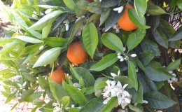 Naranjos en flor