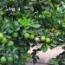 Árbol con limas