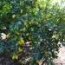 Árbol con limequat