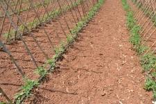 Campo de tomateras